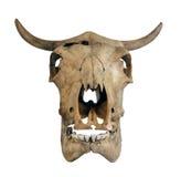Crâne d'une vache Image libre de droits