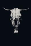 Crâne d'une vache ou d'un taureau photographie stock libre de droits