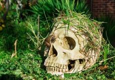 Crâne dans l'arrière-cour Photographie stock