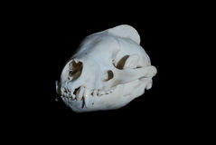 Crâne de blaireau Photo stock