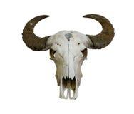 Crâne de Buffalo Photographie stock