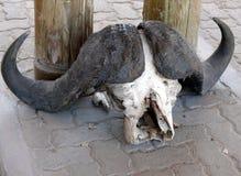 Crâne de Buffalo Image libre de droits