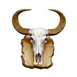 Crâne de Bull avec des klaxons sur le blanc Photos libres de droits