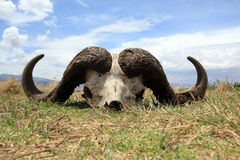 crâne de cap de buffle Photographie stock