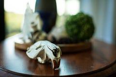 Crâne de castor sur la table photo stock
