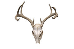 crâne de cerfs communs images stock