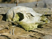 Crâne de cerfs communs Photographie stock