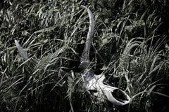 Crâne de cerfs communs Image stock