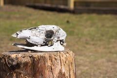 Crâne de cerfs communs Image libre de droits