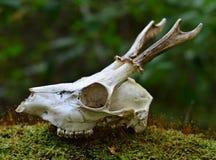 Crâne de cerfs communs d'oeufs de poisson Photo libre de droits