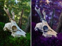 Crâne de cerfs communs d'oeufs de poisson Photographie stock