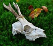 Crâne de cerfs communs d'oeufs de poisson Photographie stock libre de droits