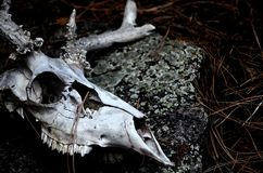 Crâne de cerfs communs dans la forêt images libres de droits