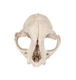 Crâne de chat Photographie stock libre de droits