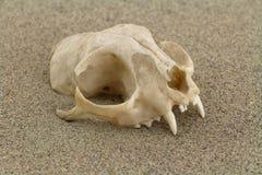Crâne de chat creusé en sable de désert Photographie stock