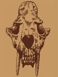 Crâne de chat de dent de sabre Photographie stock