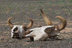 Crâne de cheval et de vache image libre de droits