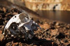 Crâne de chien Photo libre de droits