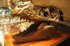 Crâne de dinosaur dans le musée de Washington Images stock