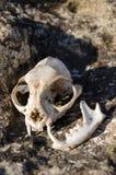 Crâne de Fox Photos stock
