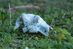 Crâne de kangourou dans l'Australie Photographie stock