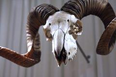Crâne de Mouflon images stock