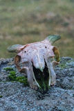 Crâne de moutons Images stock