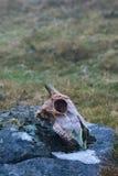 Crâne de moutons Photo stock