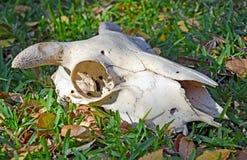 Crâne de moutons (RAM) sur l'herbe Photos libres de droits