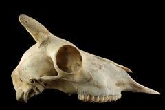 Crâne de moutons sauvages avec le klaxon d'isolement sur un fond noir Photos libres de droits