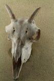 Crâne de moutons sauvages avec le klaxon sur la surface de sable de désert Photos stock