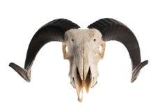 Crâne de Ram avec des klaxons image libre de droits