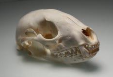 Crâne de raton laveur Image libre de droits