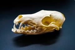 Crâne de renard blanc, chiens, sur un fond noir, dents photographie stock