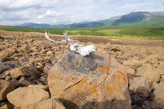 Crâne de renne se trouvant sur une pierre Ural polaire, Russie photographie stock libre de droits