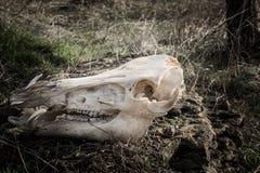 Crâne de sanglier sur le fond d'herbe sèche Image libre de droits