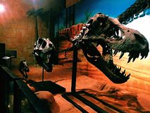 Crâne de T-rex Photographie stock libre de droits