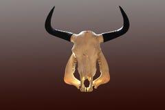 Crâne de vache Photos stock