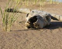 Crâne de vache dans le désert Images libres de droits