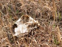 Crâne en herbe Image stock
