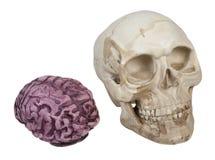 Crâne et cerveaux photo libre de droits