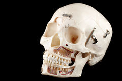 Crâne humain Image libre de droits