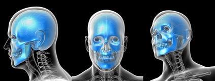 Crâne humain Image stock