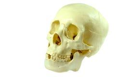 Crâne humain d'isolement Photo libre de droits