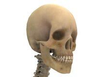 Crâne humain d'isolement sur le fond blanc Image libre de droits