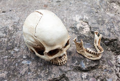 Crâne humain, mâchoire séparée, sur la rue de ciment de fente Photographie stock libre de droits