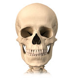 Crâne humain, vue de face. Image libre de droits