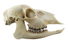 Crâne sans cornes de cerfs communs d'oeufs de poisson sur un fond blanc Photos stock