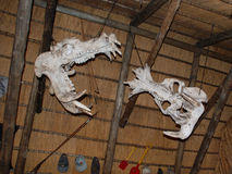Crânes d'hippopotame Photographie stock libre de droits