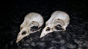 Crânes d'oiseaux Photo stock